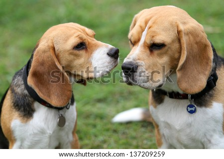 Two cute beagle dogs getting close to each other - stock photo