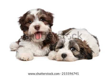Two cute bichon havanese puppies are lying next to each other and looking at camera, isolated on white background - stock photo