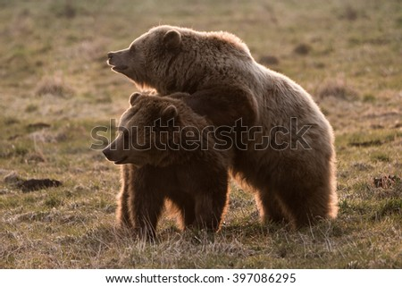 Two cute brown bears looking curious