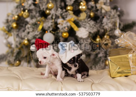 Two cute chihuahua dogs, christmas concept