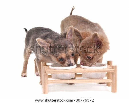 Two cute chihuahua puppies eating isolated on white background - stock photo