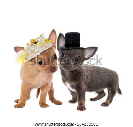 Two cute chihuahua puppies getting married  - stock photo