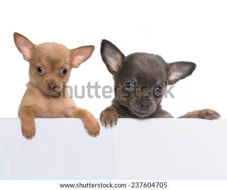 Two cute chihuahua puppies holding an empty banner - stock photo