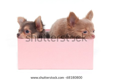 Two cute Chihuahua puppies sitting in a pink box - stock photo