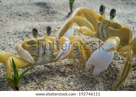 Two cute Crabs couple. Brazil Ilha Grande. Tropical Island. South America Rio do Janeiro. - stock photo
