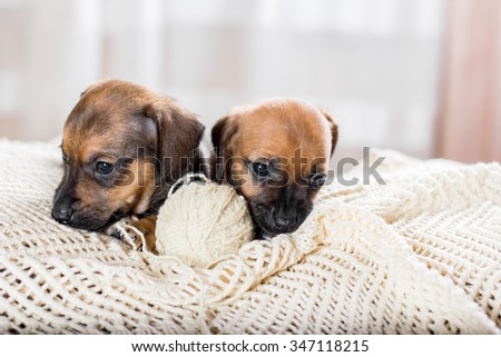 Two cute dachshund puppy playing