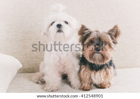 Two cute dogs white maltese and yorkshire terrier on a sofa at home - stock photo