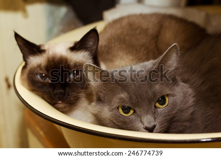 Two cute domestic short hair cats snuggle with one another in enameled basin - stock photo
