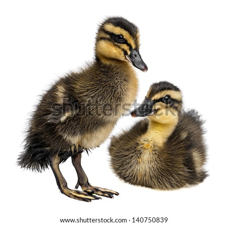 two cute ducklings - indian runner duck - white background - stock photo