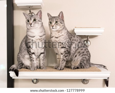 Two cute Egyptian Mau cats sitting on a shelf looking to the left