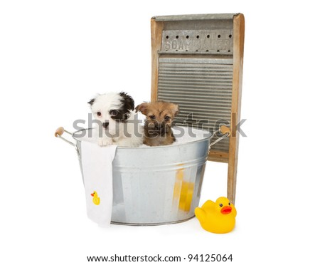 Two cute eight week old puppies in an old galvanized tub with bubbles, a rubber duckie, a towel and an old fashioned washer - stock photo