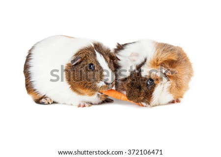 Two cute guinea pigs together on white sharing a carrot stick