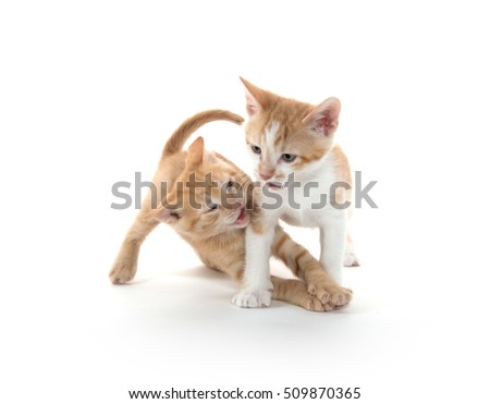 Two cute kittens playing and fighting on white background