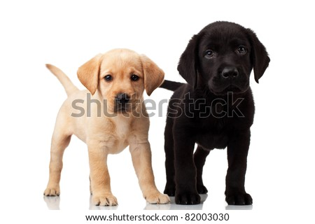 two cute labrador puppies - both very curious , standing and looking at the camera - stock photo