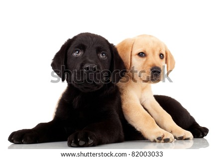 two cute labrador puppies - playing and looking at something - stock photo