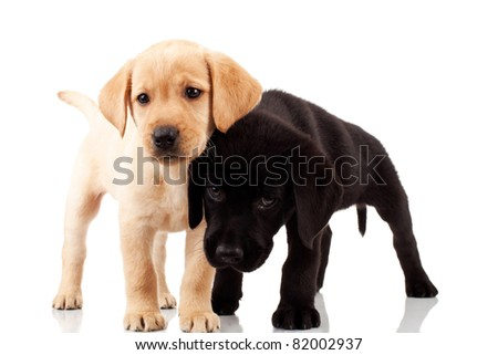 two cute labrador puppies - standing on a white background - stock photo