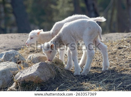 Two cute lamb searching for food a sunny day in the meadow - stock photo