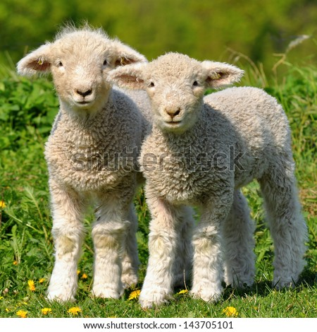 two cute lambs - stock photo