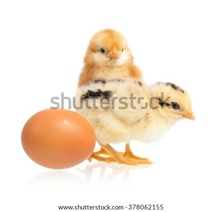 Two cute little chickens and egg, isolated on white background - stock photo