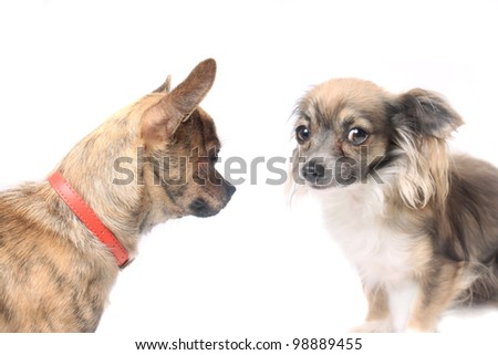 Two cute little chihuahua dogs on a white background