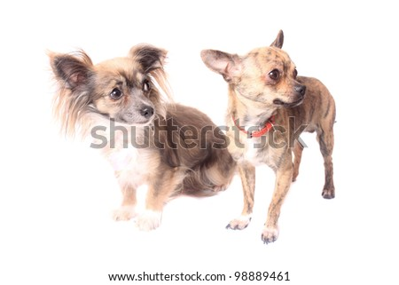 Two cute little chihuahua dogs on a white background looking to the side