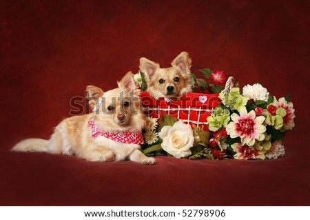 Two cute little dogs with Valentine basket and flowers - stock photo