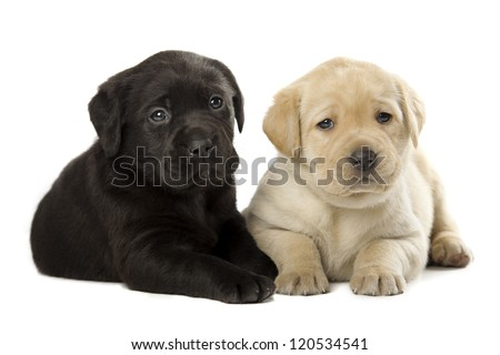 two cute little Labrador Retriever puppies isolated over white background