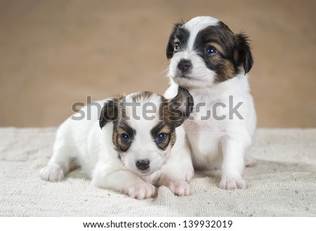 Two cute little puppy Papillon on a beige background - stock photo