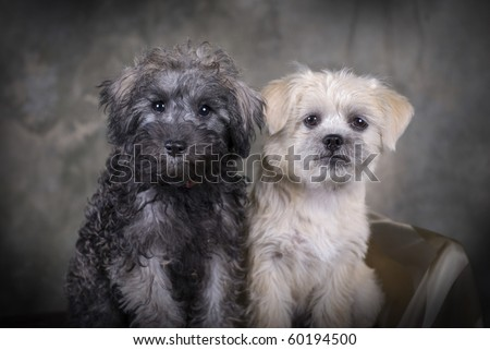 Two cute mixed breed puppies sitting next to each other. - stock photo