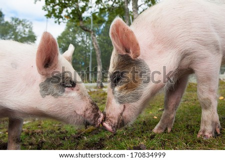 Two cute pigs in love - stock photo
