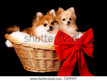 Two cute Pomeranian puppies in a basket with a giant red bow.