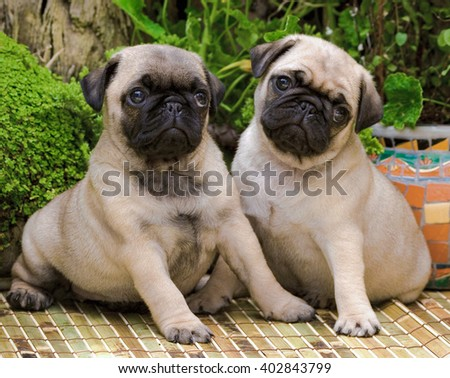 Two Cute Pug Puppies Sitting.