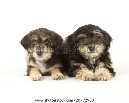 Two cute puppies brothers isolated on white