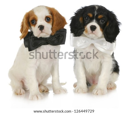 two cute puppies - cavalier king charles spaniel puppies wearing bowties sitting on white background - stock photo