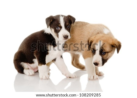 two cute  puppies. isolated on white background