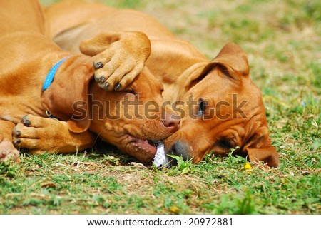 Two cute Rhodesian Ridgeback hound dog puppies playing together - stock photo