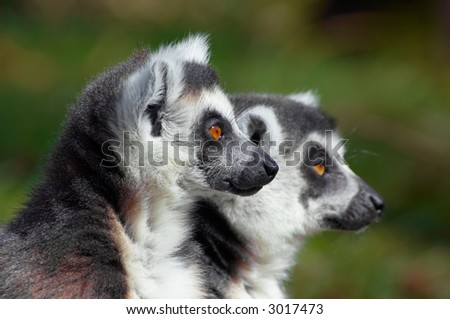 two cute ring-tailed lemurs looking sideways (focus on first monkey) - stock photo