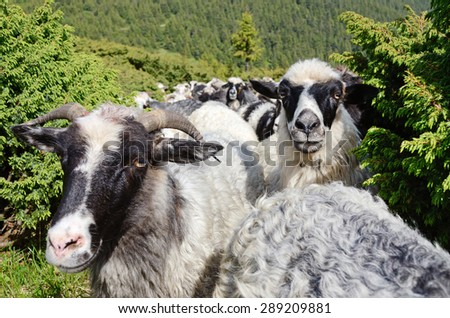 Two cute sheep in the pasture among juniper - stock photo