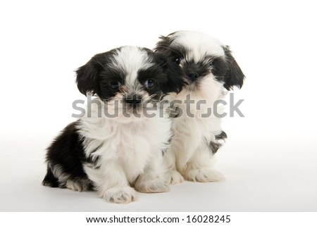 Two cute Shih Tzu puppies sitting next to each other. Shot on white background. - stock photo