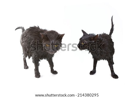 Two Cute soggy cats (black and gray) after a bath, drying off - stock photo