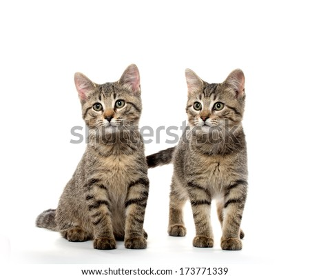 Two cute tabby American shorthair kittens on white background