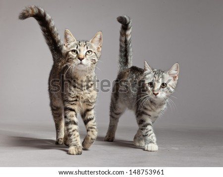Two cute tabby kittens walking towards camera. Studio shot against grey. - stock photo