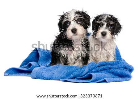 Two cute wet havanese puppies after bath is sitting on a blue towel and looking left, isolated on white background - stock photo