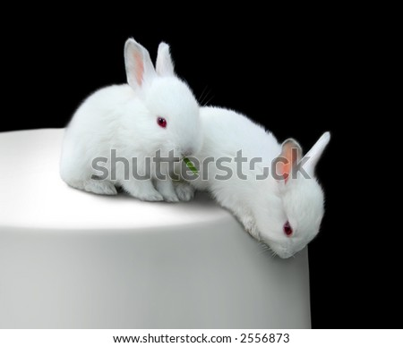 cute white baby rabbits. two cute white baby rabbits. easter bunnies on a table. one eating grass rabbits c