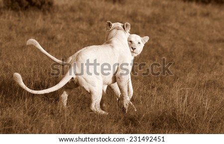 Two cute white lion cubs play and fight in this beautiful image. - stock photo