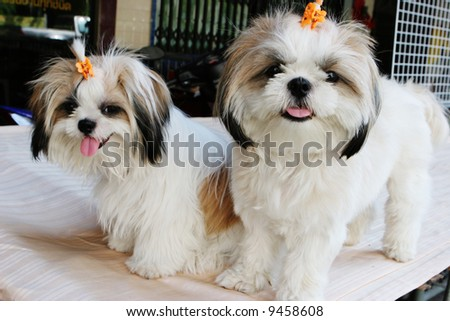 Two cute white puppies with clips in their fur. - stock photo