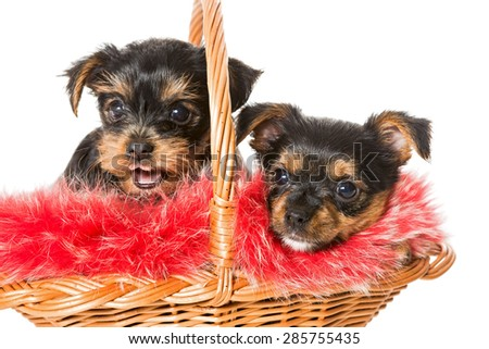 Two cute Yorkshire Terrier puppy in a basket with red fur, isolated on white - stock photo