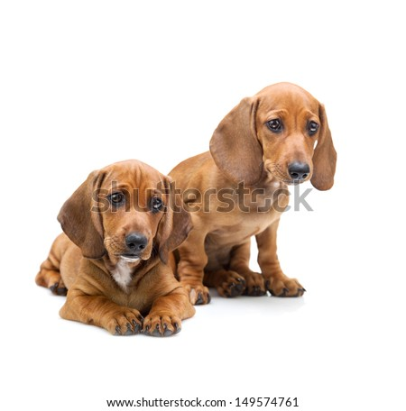 Two Dachshund Puppies / Isolated on white - stock photo