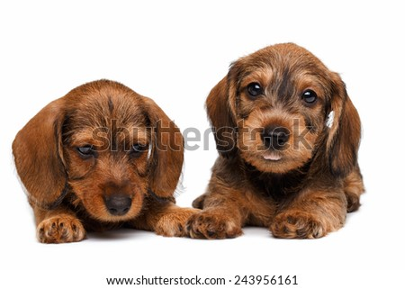 Two Dachshund puppies lies on white background