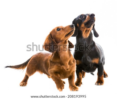 two dachshunds playing on white background - stock photo